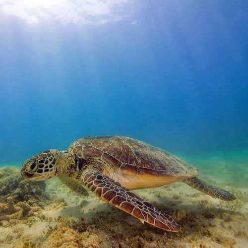 Turtle at the Frankland Islands