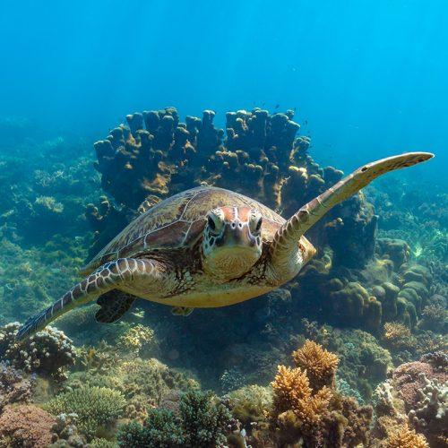 Frankland Islands Snorkelling Turtle